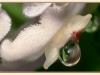 hf-04-hoya-carnosa---asclepias-carnosa___w4024bs