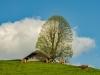 Baum auf der Weide